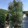 photinia-fr-red-robin
