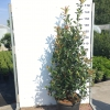 photinia-carre-rouge