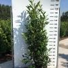 prunus-laur-herbergii