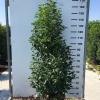 prunus-lusitanica-angustifolia