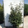 eleagnus-ebbingei