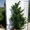 ligustrum-texanum