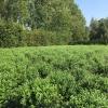 osmanthus-burkwoodii